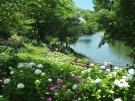 【国営讃岐まんのう公園】初夏の園内を40品種2万本のアジサイが彩る「あじさいまつり」