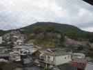 Sakura trees are blossoming by the way to Konpirasan~