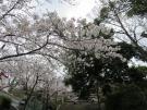 Famous spots of sakura blossom viewing ①