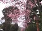 櫻之抄玄關外的櫻花已經盛開囉!!